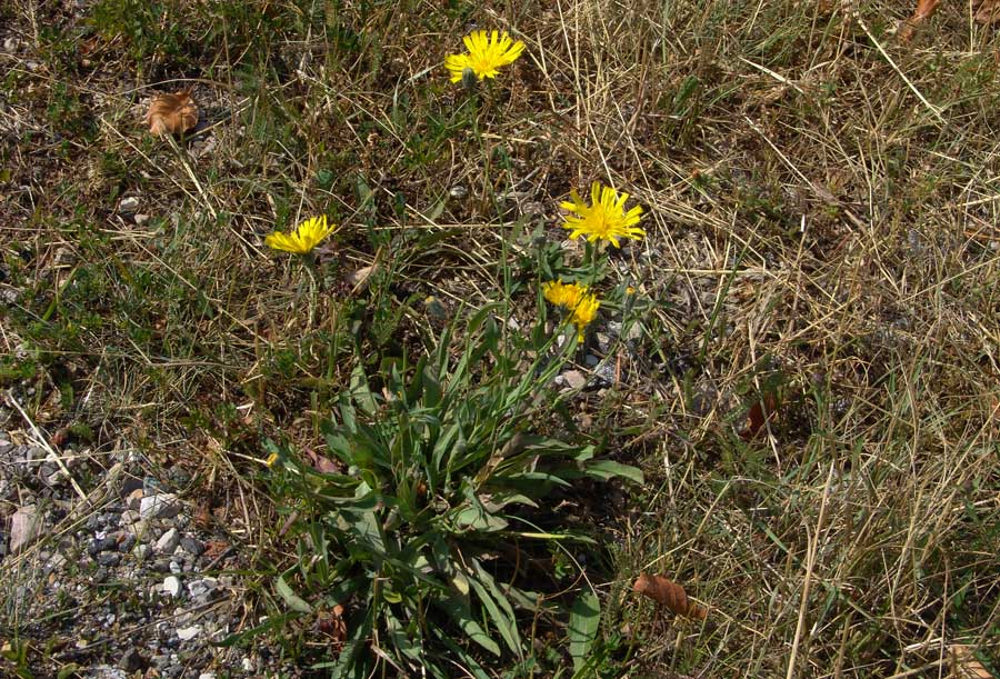 Hieracium glaucum  All.097.jpg