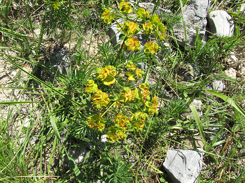 Euphorbia_cyparissias_130705_1.jpg