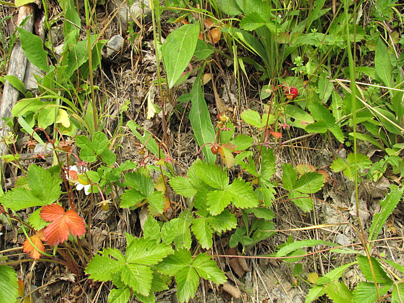 Fragaria_moschata_130707_1.jpg