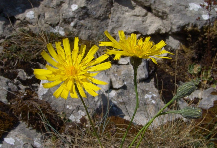 Hieracium glaucum All.-09.jpg