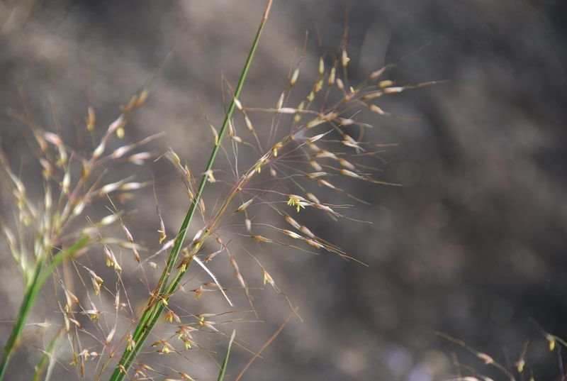 Poaceae - Chrysopogon sp.2.JPG