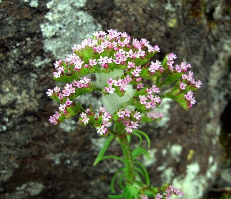 Centranthus_calcitrapae 1.jpg