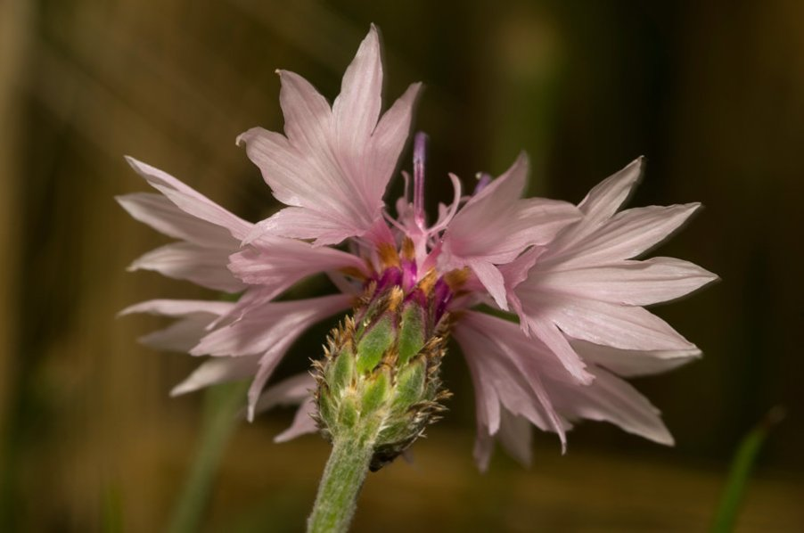 Centaurea cyanus19 (FILEminimizer).JPG