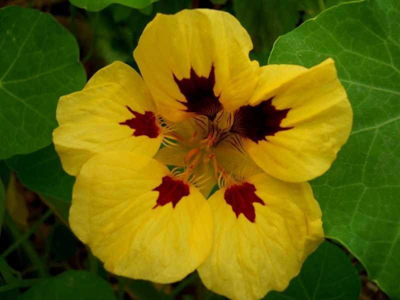 Tropaeolum-majus-L (another copy)..jpg