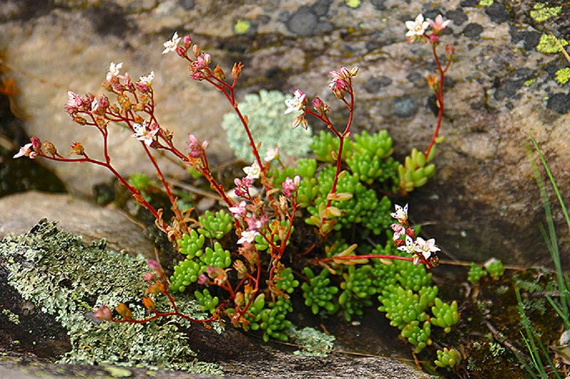 wSedum hirsutum All.-12 Demonte 13-07-2020.JPG